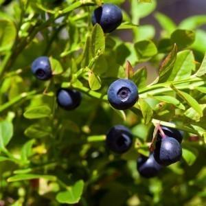 Bilberry Bulk Dry Herb