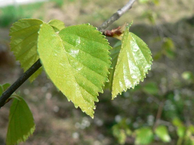Birch Leaves Bulk Dry Herb