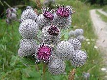 Burdook Root Bulk Dry Herb
