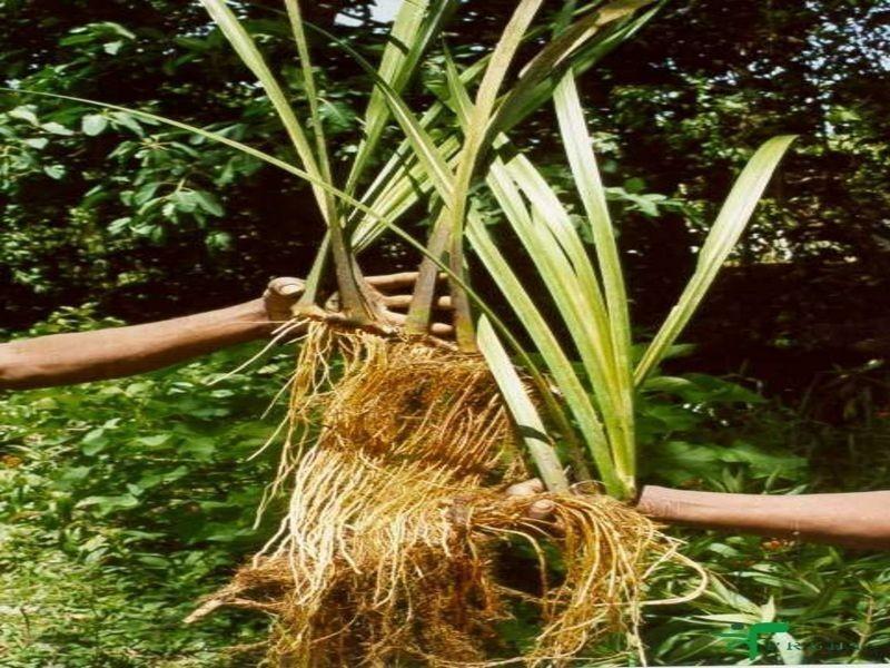 Calamus Root Bulk Dry Herb