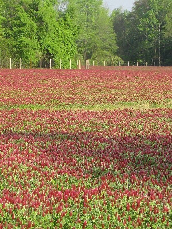 Field of red flowered herbs