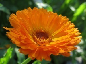 Calendula Bulk Dry Herb