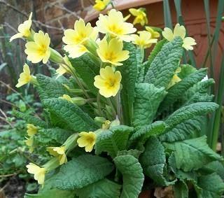Cowslip Primrose Bulk Dry Herb