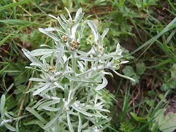 Cudweed Bulk Dry Herb