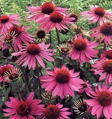 Echinacea Purp Herb Bulk Dry Herb