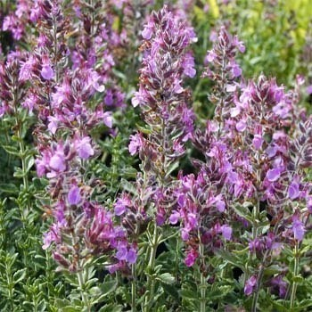 Germander Bulk Dry Herb