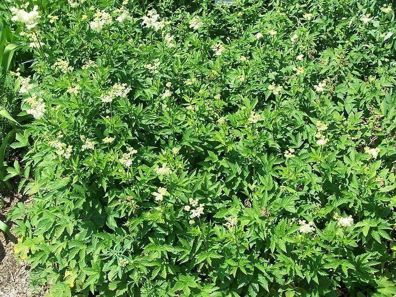 Meadowsweet Bulk Dry Herb