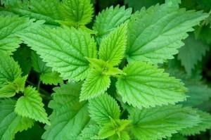 Nettle Bulk Dry Herb