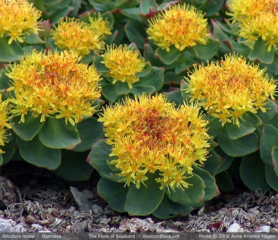 Rhodiola Rosea Bulk Dry Herb