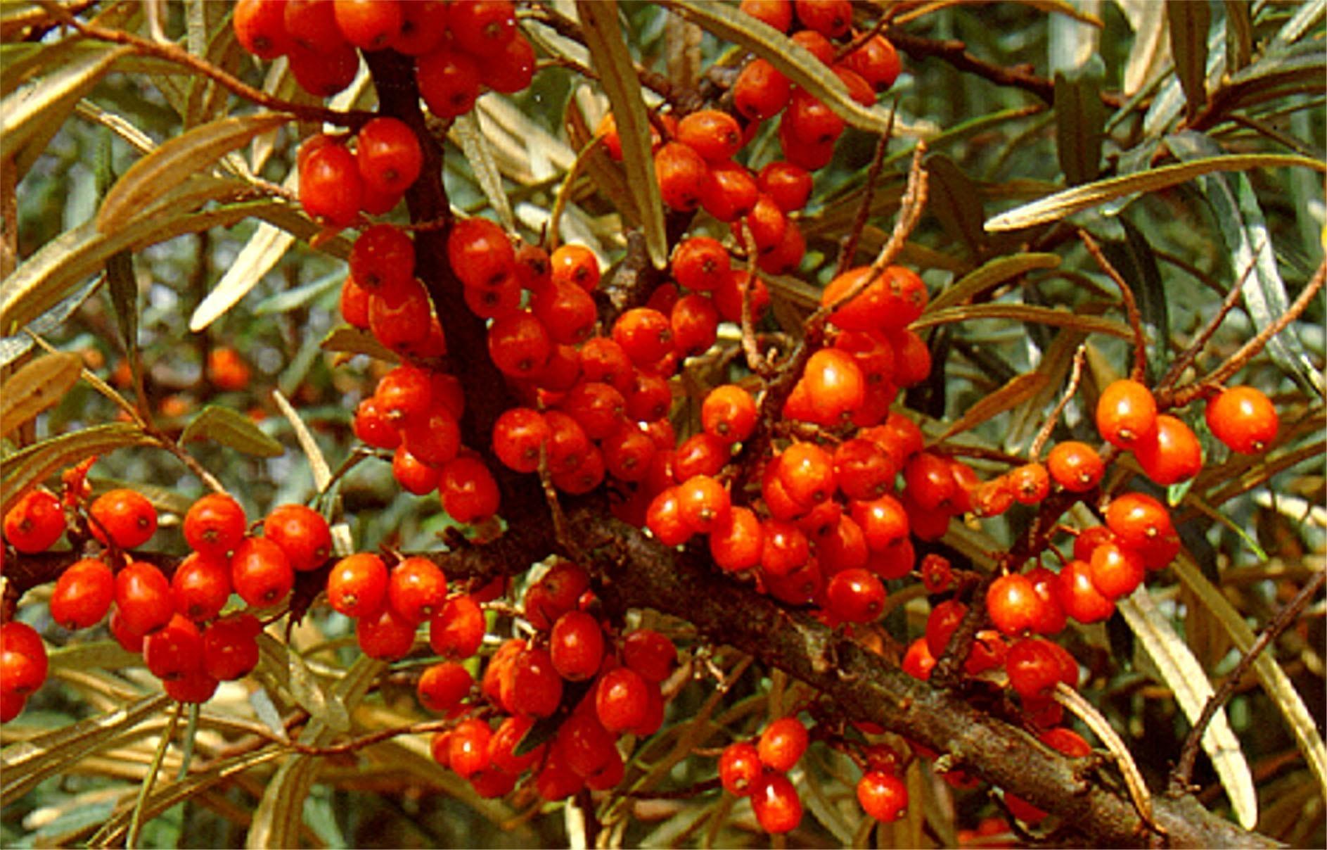Sea Buckthorn Berry Bulk Dry Herb