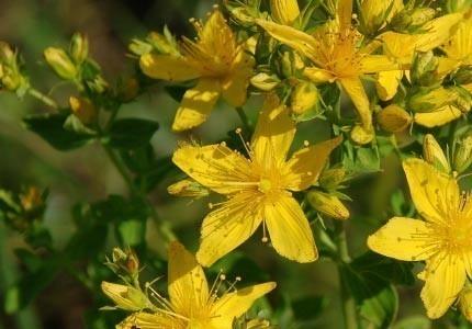 St.Johns Wort Bulk Dry Herb