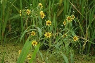 Bur Marigold Bulk Dry Herb