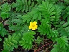 Silverweed Bulk Dry Herb