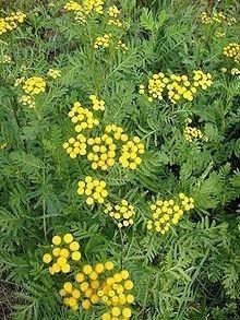 Tansy Bulk Dry Herb