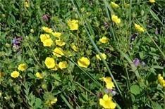 Tormentilla Root Bulk Dry Herb