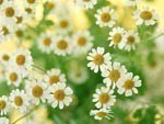 Chamomile Flowers Dry Herbs, Berries and Fruits