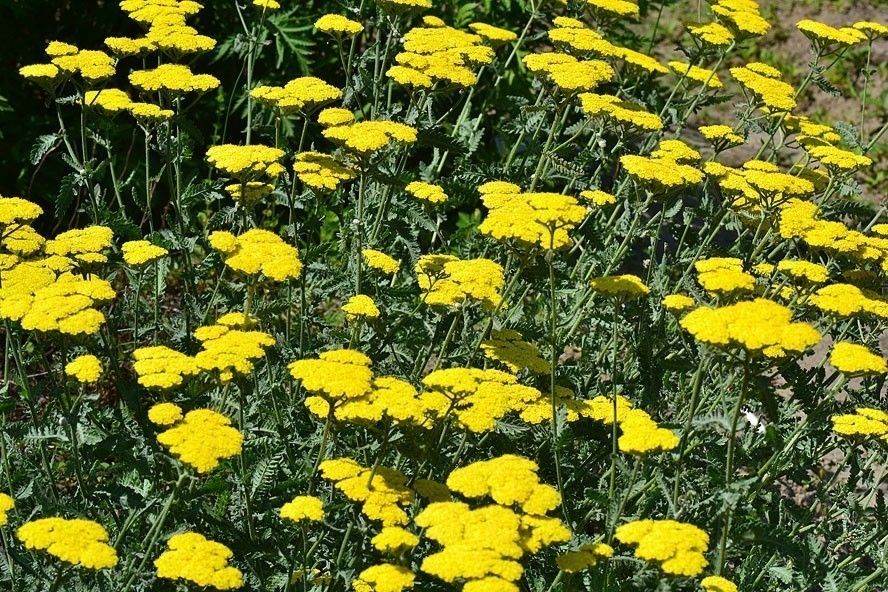 Bright yellow flowers of herb outdoors