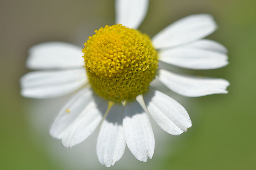 Closeup of daisy