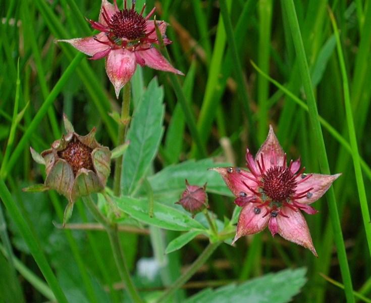 Marsh Cinquefoil Bulk Dry Herb