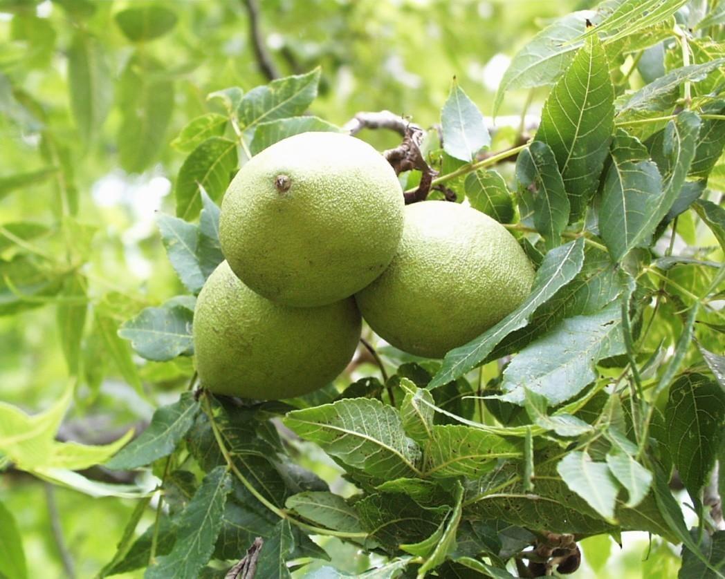 Black Walnut Leaf Bulk Dry Herb