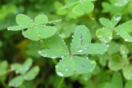 Alfalfa Leaf Bulk Dry Herb