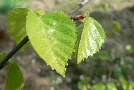 Birch Leaf Bulk Dry Herb
