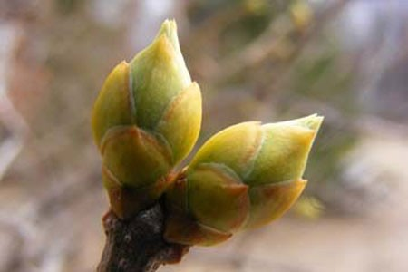 Birch Buds Bulk Dry Herb