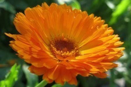 Calendula Flower Bulk Dry Herb