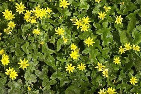Celandine Herb Bulk Dry Herb