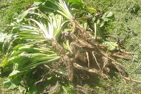 Chicory Root Bulk Dry Herb