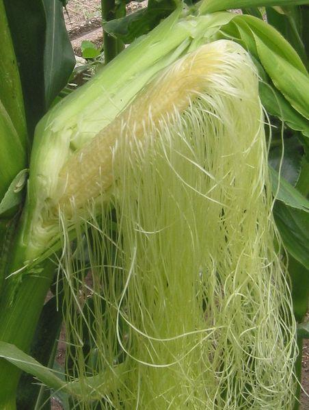 Corn Silk Bulk Dry Herb