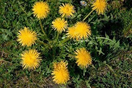 Dandelion Root Bulk Dry Herb