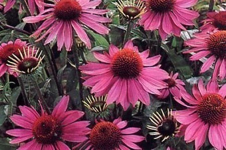 Echinacea Purpurea Herb Bulk Dry Herb