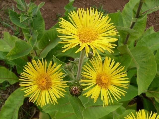 Elecampane Root Bulk Dry Herb