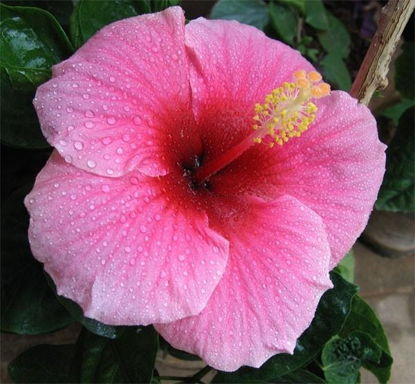 Hibiscus Flower Bulk Dry Herb