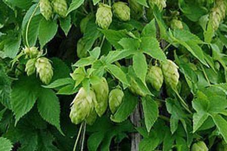 Hop's Cone Bulk Dry Herb