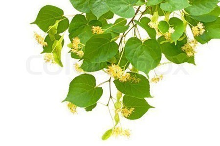 Linden Flower Bulk Dry Herb