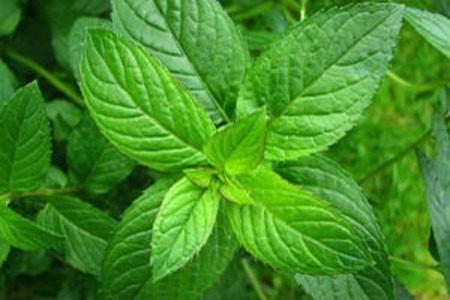 Peppermint Leaf Bulk Dry Herb