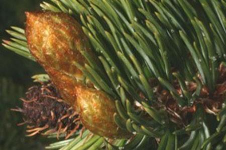 Pine Buds Bulk Dry Herb