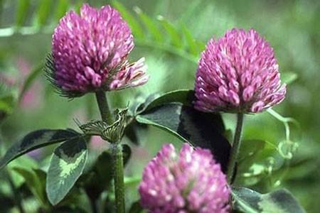 Red Clover Bulk Dry Herb