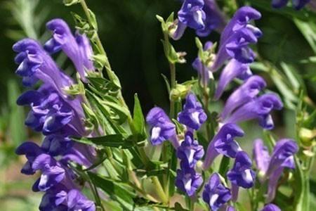 Skullcap Bulk Dry Herb