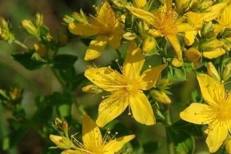 St. John's Wort Herb Bulk Dry Herb