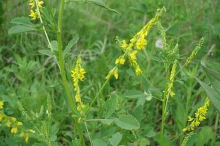 Sweet Clover Bulk Dry Herb