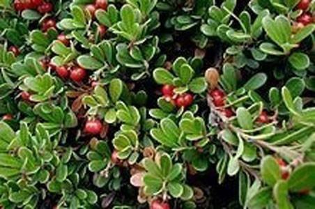 Uva-Ursi Leaf Bulk Dry Herb