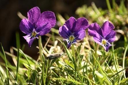 Violet Bulk Dry Herb