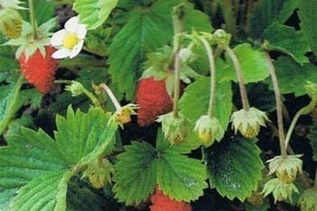 Wild Strawberry Leaf Bulk Dry Herb