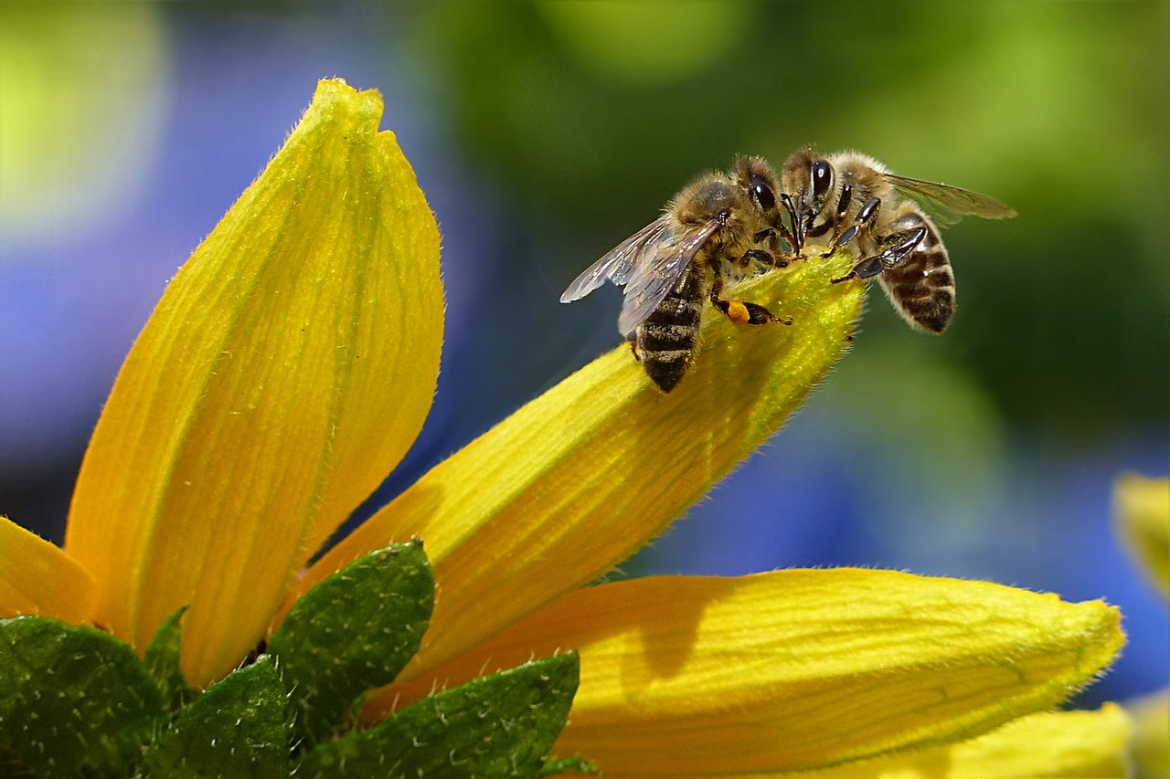 Honey Natural Remedies - Bee sucking nectar from flower